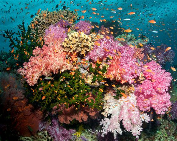 Pink popping out of this soft coral scene from Wakaya. By Ann