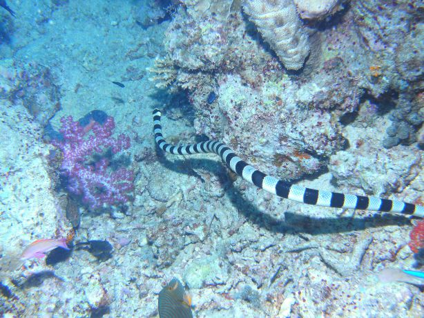Banded Sea Snake - taken by Kathy