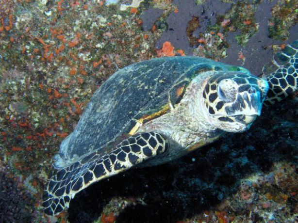 Sleepy Hawksbill Turtle snapped by Bert