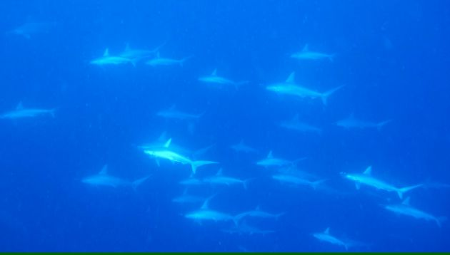 That's 40 hammerheads! - by Hollyce