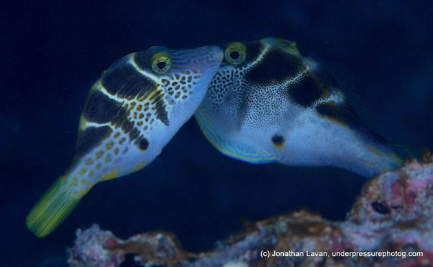 Awesome shot of a toby and a mimic filefish, mimicking the toby. Jagetme? - by Jonathan