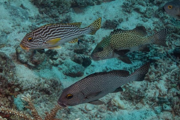Count em! 3 sweetlips species in one shot! - by Mark