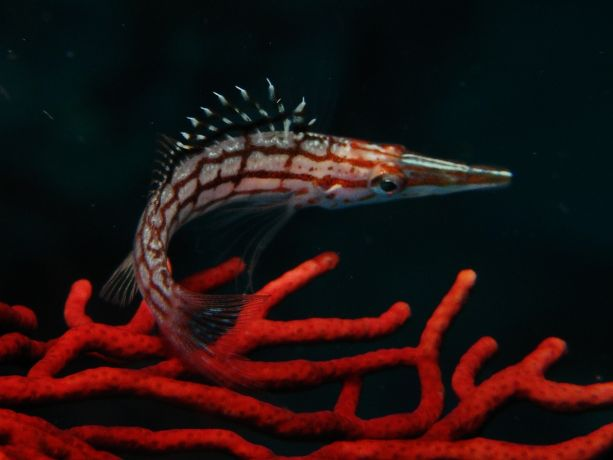 Longnose hawkfish - by Marvin