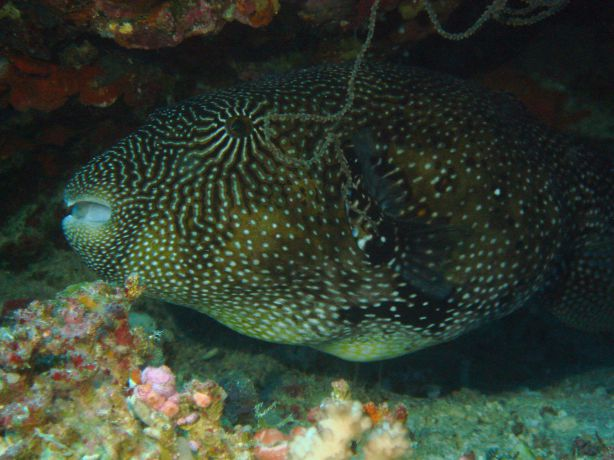 Map Puffer by Gary