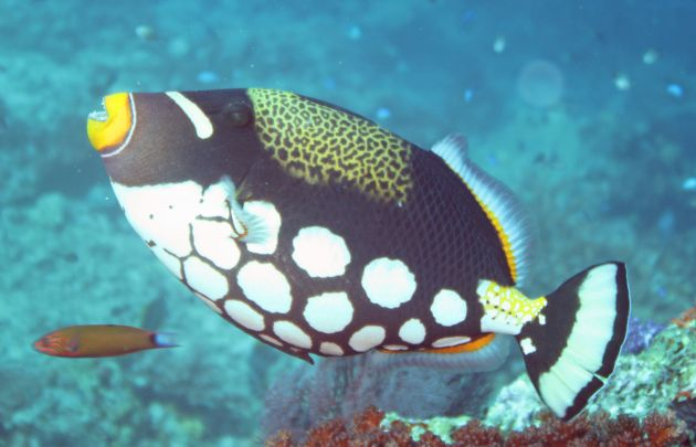 Picasso Trigger fish, takeb by Geoff