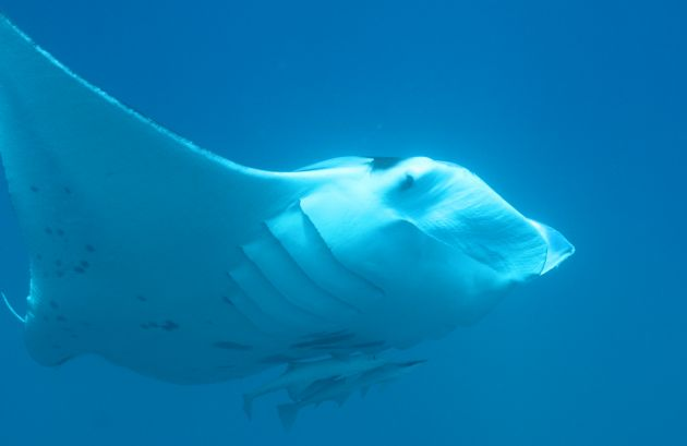 Close enounter with a Manta, taken by Geoff