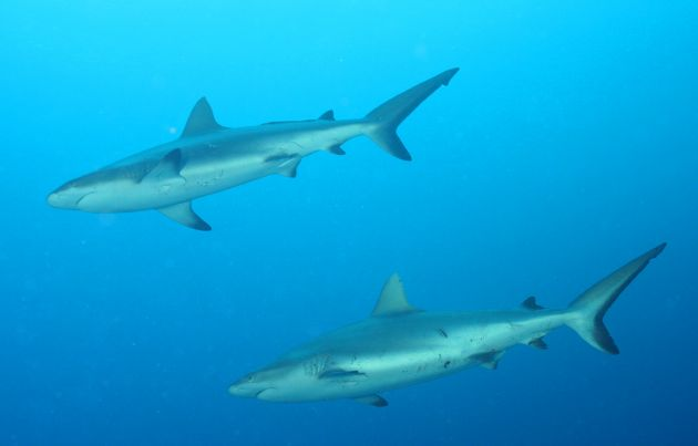 Close encounters with Grey Reef Sharks, taken by Geoff