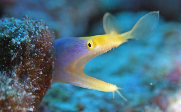 Ribbon Eel pokes its heads out for Rae