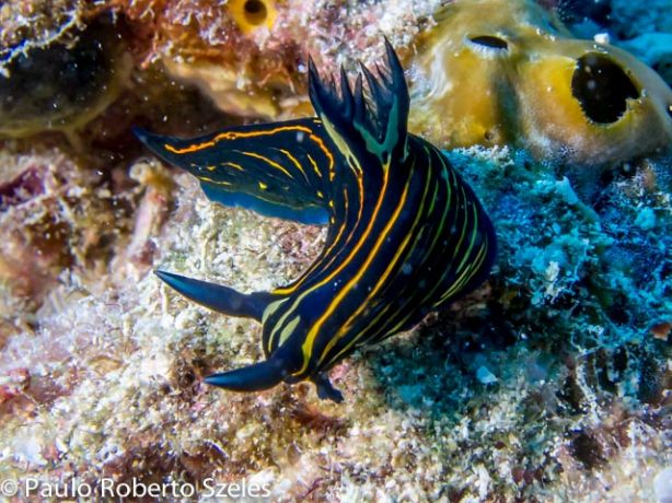 Extremely rare (in Fiji) yellow-lined roboastra - by Paulo