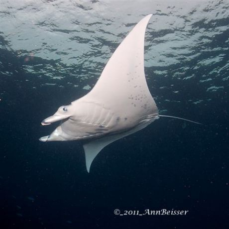 Beautiful Manta Ray from Jim's Alley feeding in the afternoon sun. By Ann