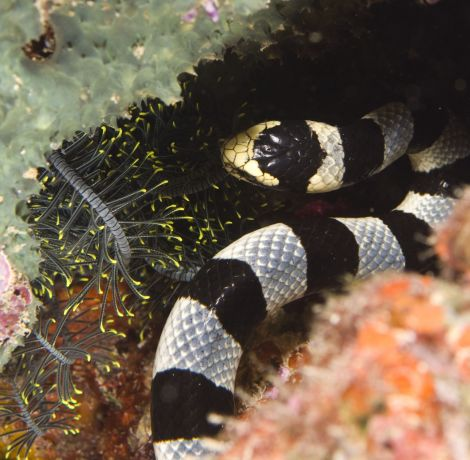 Banded Sea Snake hunting - taken by Rick S.