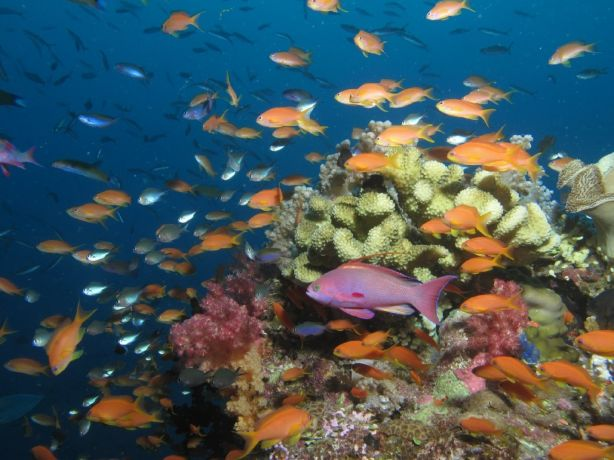 Anthias avenue - by Scuba Dave