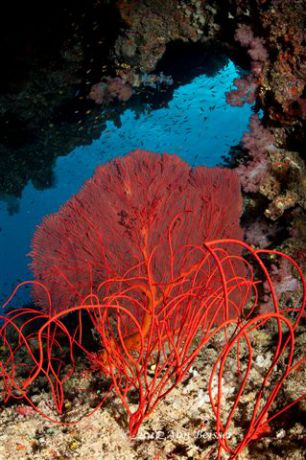 Bright red  sea fan and whips showing the seas beauty. By Ann
