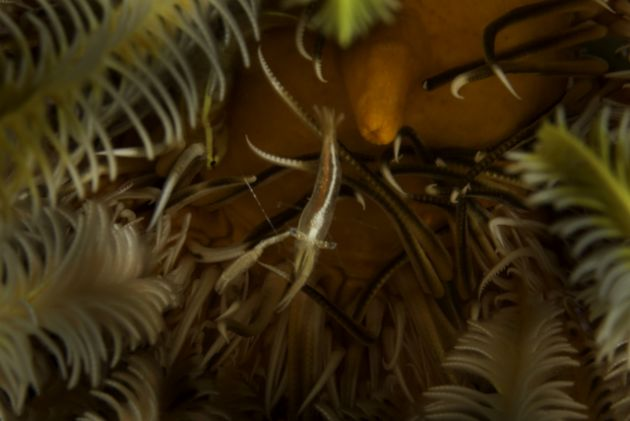 Crinoid critters - by Steve