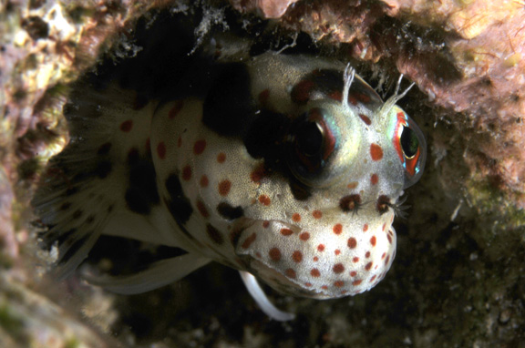 Freckle Faced Blenny poses for Judy