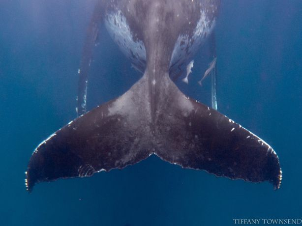 Whale Tail II - by Tiffany