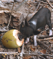 South Pacific pig food