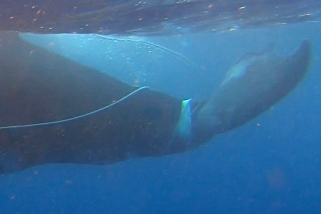 Ha'apai Humpback Whale Rescue
