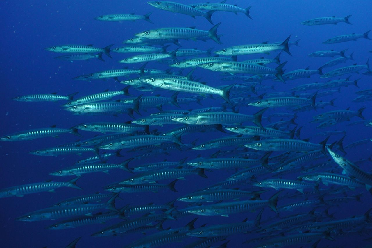 Barracuda schools circle the deepwater seamounts, always keen to check out a diver.