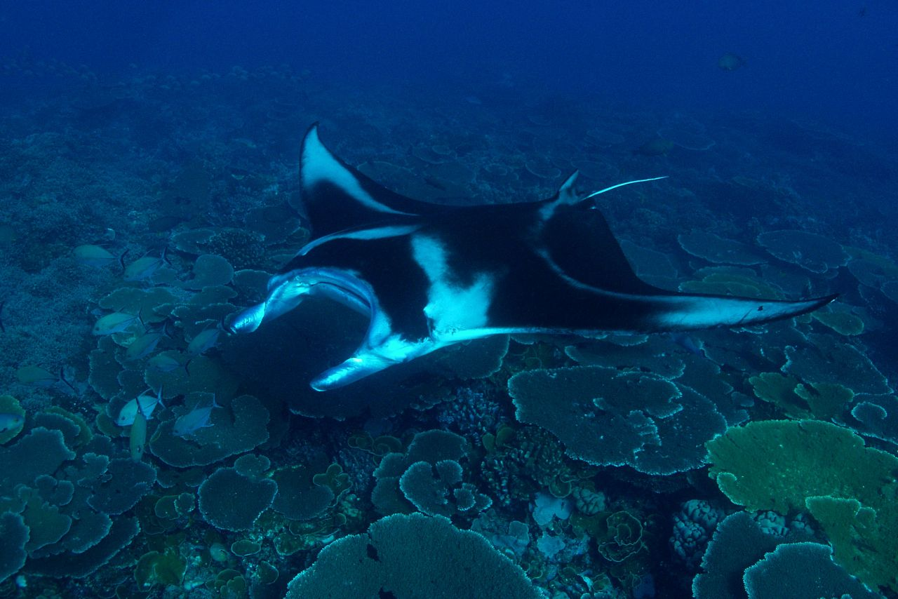 NAI'A divers often encounter resident manta rays feeding in the outgoing current or getting cleaned at offshore cleaning stations or, like this one, coming by to say hi!